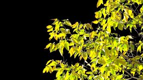 Alpha channel tree leaves. The leaves of the autumn tree are moved by a weak gust of wind on the alpha channel stock video