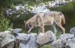 Alpha de loup gris mangeant à un abreuvoir Images libres de droits