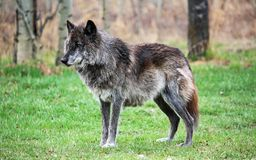 Alpha de Wolfdog photographie stock
