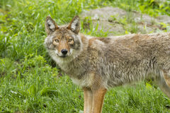 Alpha female Coyote Royalty Free Stock Photography