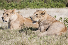 Lead lionesses surveying while resting Stock Photos