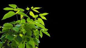 Alpha feuilles d'arbre banque de vidéos