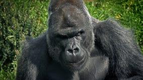 Alpha Gorilla Eating Plants grande almacen de metraje de vídeo