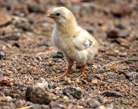 Alpha Junior. Male Chicken Beautiful Portrait. He looks like a prince Royalty Free Stock Image