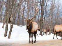 Alpha mâle de renne avec les andouillers géants photographie stock libre de droits