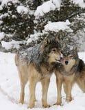Alpha mâle une poursuite femelle de loup gris images stock
