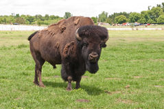 Alpha male American buffalo Stock Images