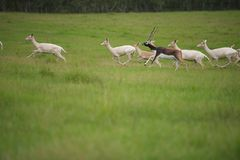 Alpha Male Antelope. In grassy field Royalty Free Stock Photography