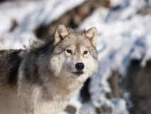 Alpha male arctic wolf. Watching in snow Royalty Free Stock Photo