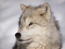 Alpha male arctic wolf royalty free stock image