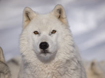 Alpha male arctic wolf. Watching in snow Stock Images