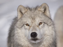 Alpha male arctic wolf. Watching in snow Royalty Free Stock Images