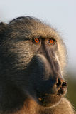 Alpha Male Baboon Royalty Free Stock Image