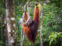 Alpha Male Borneo Orangutan at the Semenggoh Nature Reserve, Malaysia. An alpha male, semi-wild Borneo Orang Utan hanging from a tree at the Semenggoh Nature Royalty Free Stock Images