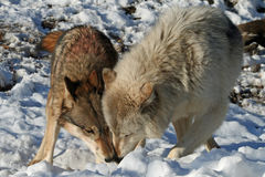 Alpha Male and Female Wolves. Alpha male & female wolves find an interesting scent royalty free stock images