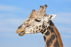Alpha male giraffe Royalty Free Stock Photos