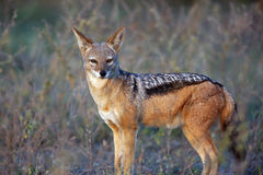 Alpha Male Jackal Stock Images