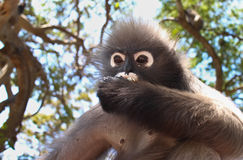An Alpha Male Langur Primate Monkey eats Royalty Free Stock Photography