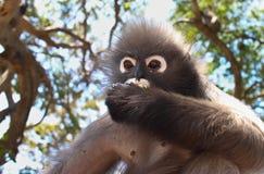 Alpha Male Langur Primate Monkey isst Lizenzfreie Stockfotografie