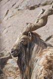 Alpha-male Markhor. Leader male markhor (Capra falconeri) in the Moscow zoo Stock Photo