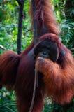 Alpha Male Orang Utan che appende su un albero in Fotografia Stock