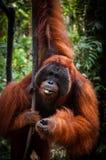 Alpha Male Orang Utan che appende su un albero in Fotografie Stock