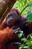 Alpha male orang utan eating portrait front Stock Image