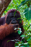 Alpha male orang utan eating portrait front Royalty Free Stock Photo