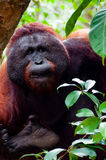 Alpha male orang utan eating portrait front Royalty Free Stock Photography