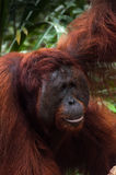 Alpha male orang utan eating portrait in jungle of Royalty Free Stock Photo