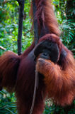 Alpha Male Orang Utan hanging on a tree in the Stock Photo