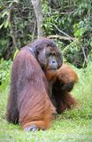 Alpha-male of the Orangutan. Stock Images