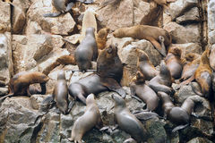 Alpha Male Sea Lion Surrounded dalla sua colonia Fotografia Stock Libera da Diritti
