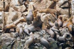 Alpha Male Sea Lion Surrounded dalla sua colonia Fotografia Stock Libera da Diritti