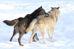 Alpha male setting tone. By placing head on other timber wolf back Stock Image