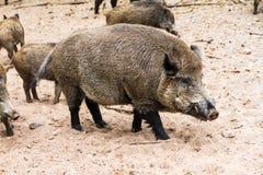 Alpha male wild boar Stock Photos
