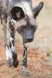 The alpha male wild dog on hunt Stock Photos