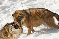 Alpha male wolf. A wolf interacting with the Alpha male Stock Images