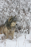 Alpha- Mannelijke Grijze Wolf in Wijze Borstel Royalty-vrije Stock Afbeelding