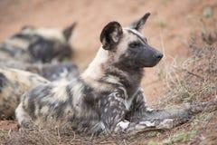 Alpha- mannelijke wilde hond op vooruitzicht meer dan pak Stock Afbeelding