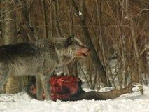 Alpha- mannelijke wolf Stock Afbeelding