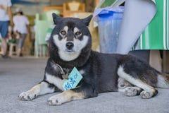 Alpha nominata cane che si siede sul pavimento Immagine Stock