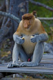 Alpha Proboscis Monkey. An Alpha Male Proboscis monkey, only found on the Island of Borneo feeds near his harem of females royalty free stock photo