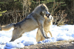 Alpha timber wolf. Being groomed Royalty Free Stock Photos