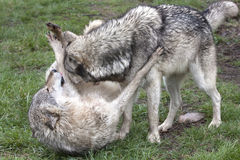 Alpha Wolf in an Act of Dominance Stock Photo