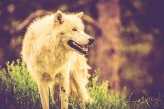 Alpha Wolf bianca Fotografia Stock