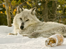 Alpha wolf laying on a snow covered hill Stock Photo
