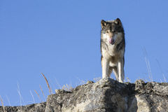 Alpha Wolf standing on ledge Stock Photography