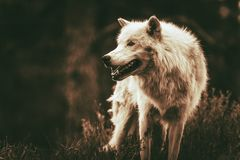 Alpha Wolf. White Alpha Wolf. Dark Sepia Color Grading. Adult Wolf Stock Image