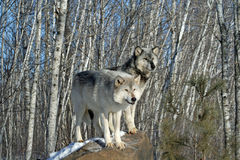 Alpha Wolves Fotografie Stock